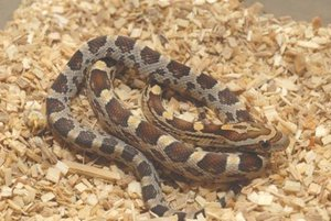 Creating The Right Environment For Your Corn Snake Corn Snake