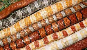 Corn snake colors