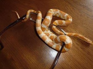 Cornsnake wrapped around glasses