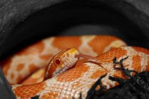 Cornsnake Introduction