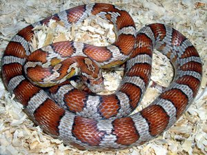 Keeping your corn snake happy