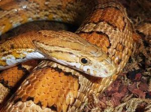 Nutritional Needs of Corn Snakes - Corn Snake