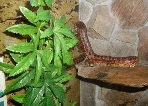Training and Taming Your Corn Snake